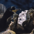 Stock Photo: Scotland, Isle of May, cormorants