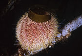 Scotland, Isle of May, UW photo, sea urchin — Stock Photo