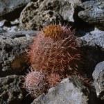 USA, Arizona, Death Valley, small cactus — Stock Photo #33407599