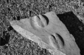 USA, Arizona, Death Valley, fossil animal foot prints in a stone — Stock Photo