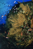 Wall diving, anthias and yellow gorgonias — Stock Photo