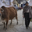 Stock Photo: Indian man and a sacred cow
