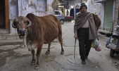 Indian man and a sacred cow — Stock Photo