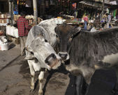 Sacred cows in a local market — Stock Photo