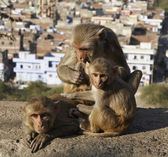 Indian monkeys — Stock Photo