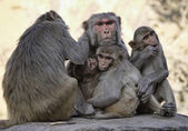 Indian monkeys at the Sun Temple — Stock Photo