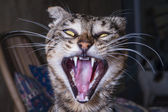 Angry and aggressive cat — Stok fotoğraf