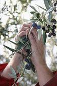 Olives harvest — Stock Photo