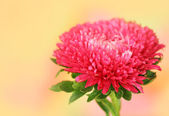 Red aster on orange background — Stock Photo