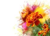 Aksamitka kwiat — Zdjęcie stockowe