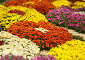 Bright colorful chrysanthemums — Stock Photo