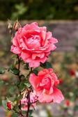 Piękno róży kwiat — Zdjęcie stockowe