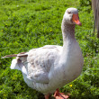 Stock Photo: White goose on green grass