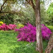 Rhododendron Bushes in Summer Garden — 图库照片