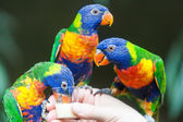 Rainbow Lorikeet Parrot — Stock Photo