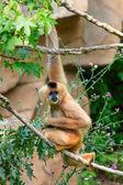Beyaz yanaklı gibbon — Stok fotoğraf