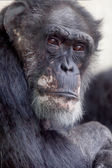 Western Lowland Gorilla portrait — Stock Photo