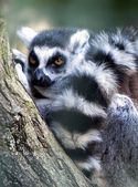 Ring-tailed lemur lemur catta — Stock Photo