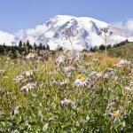 Rainier wildflowers — Stock Photo