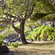 Stock Photo: Hawaii forest