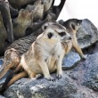 Stock Photo: Meerkat or Suricate in zoo