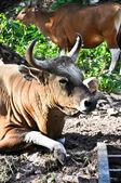 Bisonte nelle foreste tropicali in thailandia — Foto Stock