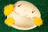 Easter chicks on a broken eggshell — Stock Photo