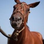 Sminilg horse — Stock Photo