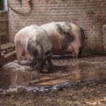 Drinking pigs — Stock Photo #29866805