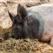 Pig relaxing — Stock Photo #30175907