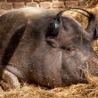 Wild Boar dreams — Stock Photo #30175933