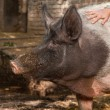 Pigs smells — Stock Photo #30175937