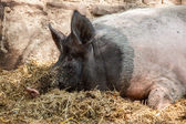 Pig relaxing — Stock Photo