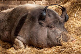 Wild Boar dreams — Stock Photo