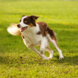 Adorable border collie — Stock Photo #12041343