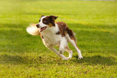 Adorable border collie — Stock Photo