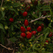 Rosehip berries on the bush — Stock Photo
