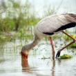 Stock Photo: Yellow-billed stork, Selous Game Reserve, Tanzania