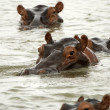 Hippos, Selous Game Reserve, Tanzania — Stock Photo