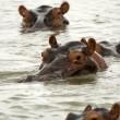 Hippos, Selous Game Reserve, Tanzania — Stock Photo