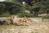 Lions, Selous Game Reserve, Tanzania — Stock Photo