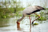 Yellow-billed stork, Selous Game Reserve, Tanzania — Stock Photo