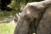 Elephant, Selous Game Reserve, Tanzania — Stock Photo