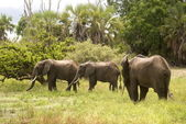 Elephants, Selous Game Reserve, Tanzania — Stock Photo