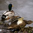 Stock Photo: Mallards, Eindhoven, Netherlands