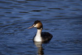 Great crested grebe, Eindhoven, The Netherlands — Stock Photo