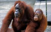 Orangutan z jej dzieckiem, semenggoh, borneo, malezja — Zdjęcie stockowe