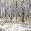 Birches in forrest with snow in fall — Stock Photo
