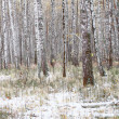 Birches in forrest with snow in fall - Stock Photo