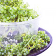 Oval sea grapes seaweed — Stock Photo
